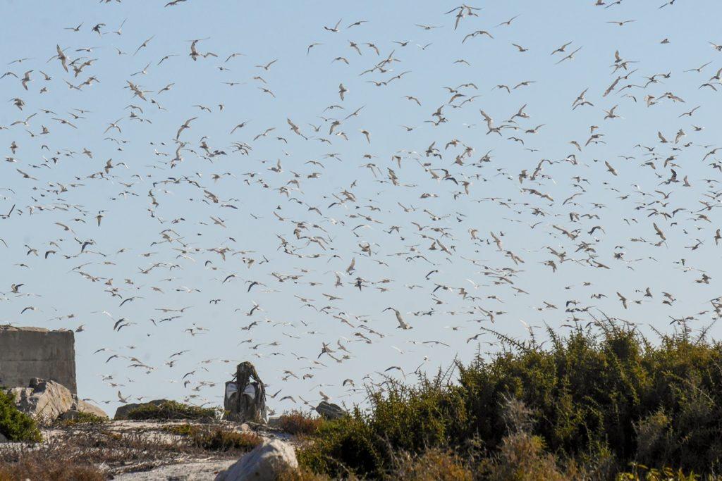 Fliegende Seeschwalben über Bird Island bei Lamberts Bay