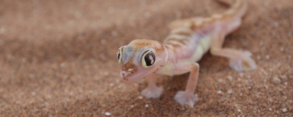 Ein Palmato Gecko, der Teil ist der Little Five in Namibia
