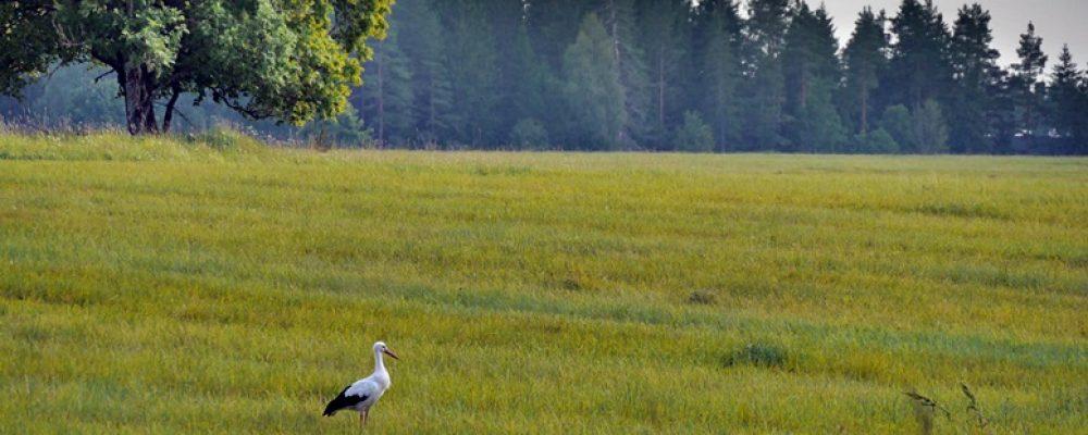 Storch auf einer Wiese im Lahemaa Nationalpark in Estland